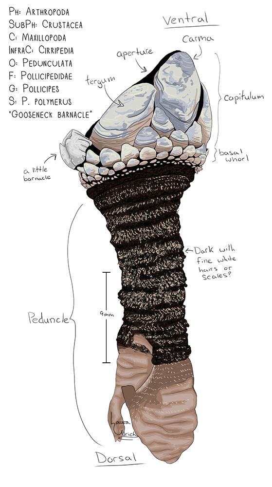 Gooseneck Barnacle Drawing The Gooseneck Barnacle so